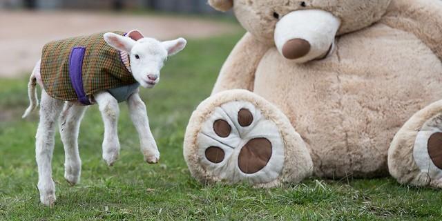 Orphaned lamb