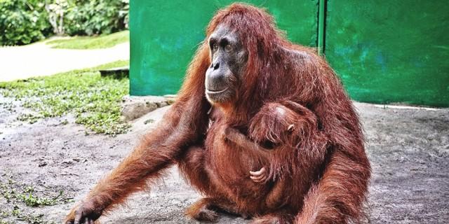 Orangutan Borneoa