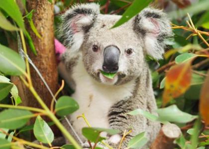 Supporting injured Koalas